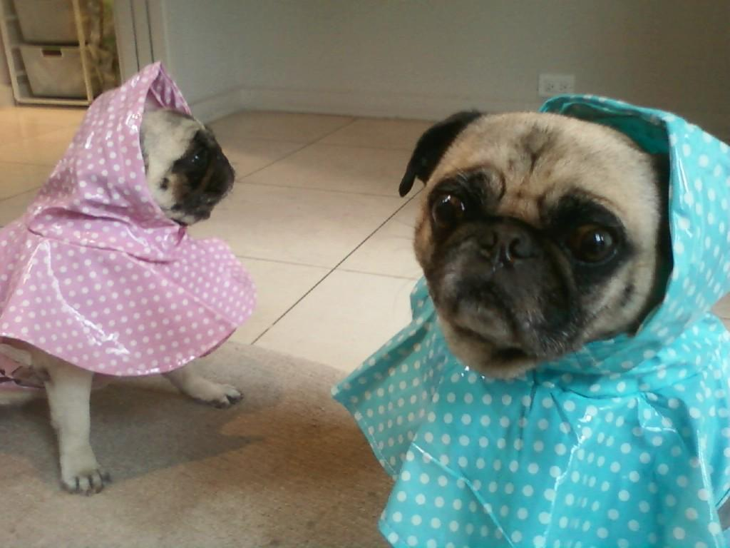 Pugs in Raincoats
